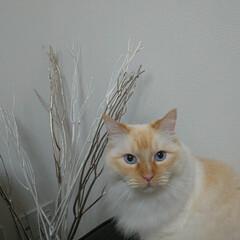 白猫/ラグドール/ペット/猫/にゃんこ同好会/うちの子ベストショット しぐ様? おめめが、何か企んでる感じがし…