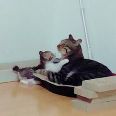キジトラ/キジ白/子猫/LIMIAペット同好会/にゃんこ同好会 嫌がりつつも、こんなに遊べるようになりま…