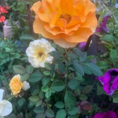 薔薇/ガーデニング/小さな庭/暮らし 今日も素敵に咲いてます。