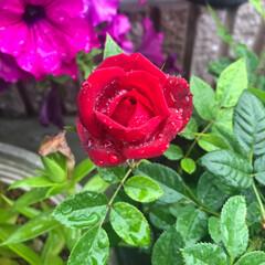 小さな庭/ガーデニング/薔薇 雨の日も癒されます。