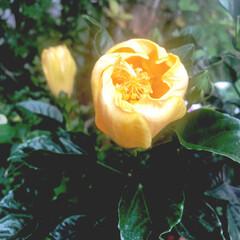 ハイビスカス/小さな庭/ガーデニング 今朝、開花前のお写真です。 夕方帰宅後、…