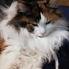 おやすみなさい/フォロー大歓迎/ペット/ペット仲間募集/猫/にゃんこ同好会 おやすみなさい🌙✨ 素敵な夢を💕
