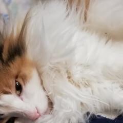 保護猫/三毛猫/フォロー大歓迎/ペット/ペット仲間募集/猫/... 宮は今日も元気🐱💕(2枚目)