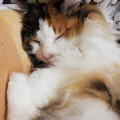 ねこ/フォロー大歓迎/おうち/ペット/ペット仲間募集/猫/... 可愛い🐱💕 1年前は、病気になり手術しま…