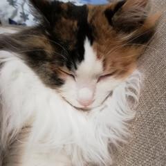 おやすみなさい/LIMIAペット同好会/フォロー大歓迎/ペット/ペット仲間募集/猫/... おやすみなさい🌃✨ すやすや寝てます💤
