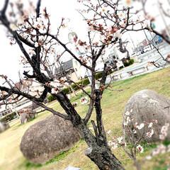 LIMIAおでかけ部/風景 今朝の1枚パチリ📷👀 梅の花🌸春ですかね…