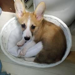 犬と暮らす 新しい寝床。噛んでばっかり(笑)で、たま…