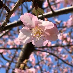 花見/桜/快晴/お散歩/ピンク/花/... ちょっと散歩に出かけたら桜が綺麗に咲いて…