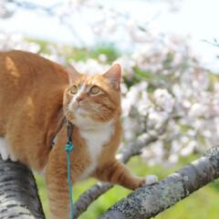 フォロー大歓迎/にゃんこ同好会/ねこにすと/ねこのきもち/晴れ/春/... 今日は天気が良くて桜も綺麗だニャー😻🌸☀…(3枚目)