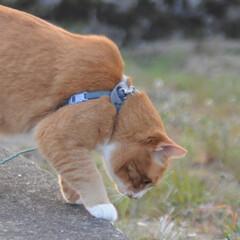 フォロー大歓迎/にゃんこ同好会/猫との暮らし/ねこのきもち/散歩/おでかけ 🙀にゃんだ⁉️ 不審物発見‼️🙀(9枚目)