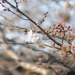 フォロー大歓迎/にゃんこ同好会/猫との暮らし/ねこのきもち/ねこにすと/散歩/... 桜を横目に楽しく散歩したニャー😻🌸😻🌸😻…(3枚目)