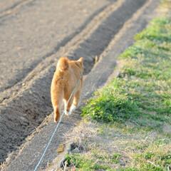 フォロー大歓迎/にゃんこ同好会/猫との暮らし/ねこのきもち/ねこにすと/散歩/... 桜を横目に楽しく散歩したニャー😻🌸😻🌸😻…(6枚目)