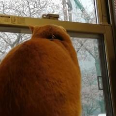 フォロー大歓迎/にゃんこ同好会/ねこのきもち/ねこにすと/桜/雨 今日は雨だにゃ😿☔ 家の中から桜を見るに…(4枚目)