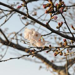 フォロー大歓迎/にゃんこ同好会/猫との暮らし/ねこのきもち/ねこにすと/散歩/... 桜を横目に楽しく散歩したニャー😻🌸😻🌸😻…(2枚目)