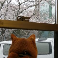 フォロー大歓迎/にゃんこ同好会/ねこのきもち/ねこにすと/桜/雨 今日は雨だにゃ😿☔ 家の中から桜を見るに…