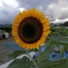 フォロー大歓迎/サンフラワー/太陽/ひまわり 雨のち曇りだけど太陽が 出てるみたい🌻☀…