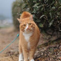 フォロー大歓迎/にゃんこ同好会/猫との暮らし/ねこのきもち/雪/散歩/... 雪が降ってきたニャー🙀 急いで帰るニャー…(5枚目)