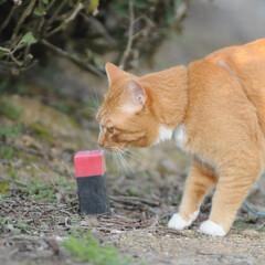 フォロー大歓迎/にゃんこ同好会/猫との暮らし/ねこのきもち/ねこにすと/散歩/... 桜を横目に楽しく散歩したニャー😻🌸😻🌸😻…(8枚目)