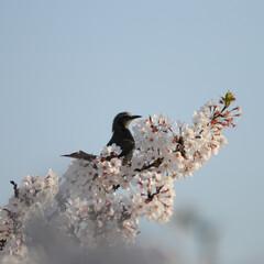 フォロー大歓迎/にゃんこ同好会/ねこにすと/ねこのきもち/桜/散歩/... 桜の木の上に鳥さん発見!🐦😻 一緒に遊び…(3枚目)