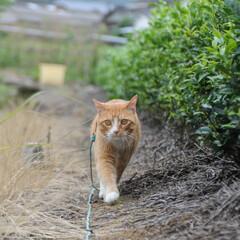 フォロー大歓迎/にゃんこ同好会/ねこのきもち/ねこ/梅雨/散歩 雨が止んだ隙に散歩したニャー😸🐾🐾🐾 二…(4枚目)