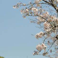 フォロー大歓迎/にゃんこ同好会/ねこにすと/ねこのきもち/晴れ/春/... 今日は天気が良くて桜も綺麗だニャー😻🌸☀…(7枚目)