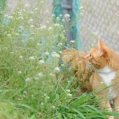 フォロー大歓迎/にゃんこ同好会/猫との暮らし/ねこにすと/ねこのきもち/散歩/... 桜が開花したニャー😻🌸🌸🌸 今日はポカポ…(6枚目)
