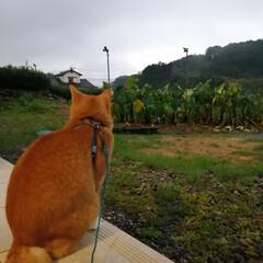 ねこのきもち/散歩/雨/フォロー大歓迎 雨が本降りだニャー😿 散歩行けないニャー😿(2枚目)