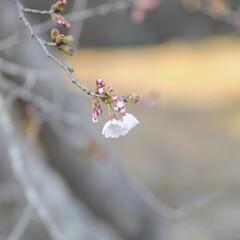 フォロー大歓迎/にゃんこ同好会/猫との暮らし/ねこのきもち/ねこにすと/散歩/... 桜を横目に楽しく散歩したニャー😻🌸😻🌸😻…(4枚目)