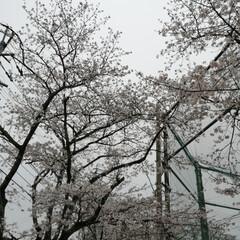 フォロー大歓迎/にゃんこ同好会/ねこのきもち/ねこにすと/桜/雨 今日は雨だにゃ😿☔ 家の中から桜を見るに…(6枚目)