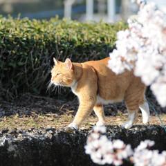 フォロー大歓迎/にゃんこ同好会/ねこにすと/ねこのきもち/桜/散歩/... 桜の木の上に鳥さん発見!🐦😻 一緒に遊び…(6枚目)