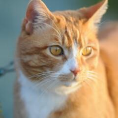 フォロー大歓迎/にゃんこ同好会/猫との暮らし/ねこのきもち/ねこにすと/散歩/... 桜を横目に楽しく散歩したニャー😻🌸😻🌸😻…(10枚目)