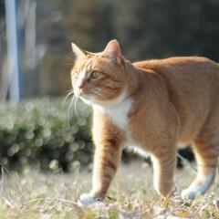 フォロー大歓迎/にゃんこ同好会/猫との暮らし/ねこのきもち/散歩 今日も爽やかな天気☀️😸 爽快だニャー😻…(2枚目)