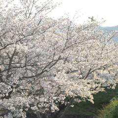 フォロー大歓迎/にゃんこ同好会/猫との暮らし/ねこのきもち/ねこにすと/散歩/... 山手の桜も咲いてるニャー🌸😻 行ってみた…(6枚目)