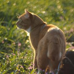 にゃんこ同好会/ねこのきもち/猫のいる暮らし/夕日/散歩/おでかけ/... 夕日の色が綺麗だニャー😻 ちょっと寂しい…(4枚目)