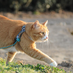 フォロー大歓迎/にゃんこ同好会/猫との暮らし/ねこのきもち/ねこにすと/散歩/... 桜を横目に楽しく散歩したニャー😻🌸😻🌸😻…(7枚目)