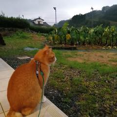 ねこのきもち/散歩/雨/フォロー大歓迎 雨が本降りだニャー😿 散歩行けないニャー😿(3枚目)