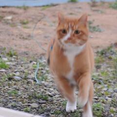 フォロー大歓迎/にゃんこ同好会/猫との暮らし/ねこのきもち/雪/散歩/... 雪が降ってきたニャー🙀 急いで帰るニャー…(8枚目)