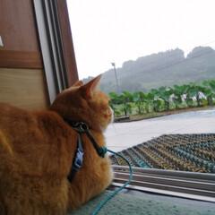 フォロー大歓迎/にゃんこ同好会/ねこのきもち/ねこ/ステイホーム/雨/... まだまだ雨が降るニャー😿