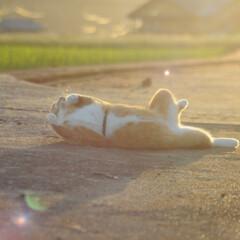 にゃんこ同好会/ねこのきもち/散歩/夕焼け/おでかけ/フォロー大歓迎 夕焼けがキレイだニャー😻 ‼️知らないお…(3枚目)