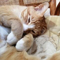 寝る/ねこのきもち/散歩/フォロー大歓迎/LIMIAファンクラブ/LIMIAペット同好会/... 散歩したらよく眠れるニャー😪💤💤😸😸😸