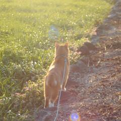 にゃんこ同好会/ねこのきもち/猫のいる暮らし/夕日/散歩/おでかけ/... 夕日の色が綺麗だニャー😻 ちょっと寂しい…(3枚目)