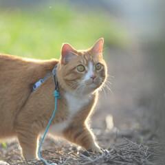 フォロー大歓迎/にゃんこ同好会/猫との暮らし/ねこのきもち/ねこにすと/散歩/... 山手の桜も咲いてるニャー🌸😻 行ってみた…(5枚目)