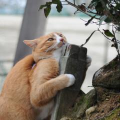 フォロー大歓迎/にゃんこ同好会/猫との暮らし/ねこのきもち/ねこにすと/散歩 気になる杭だニャー😻😻😻 いっぱいスリス…(2枚目)