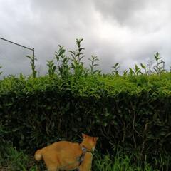 フォロー大歓迎/にゃんこ同好会/ねこのきもち/ねこ/散歩/大雨/... 今日は大雨後曇り空。☔😿 降りだしそうな…(4枚目)
