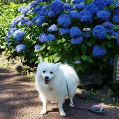 わんこ同好会 少し早めの紫陽花の季節…(1枚目)