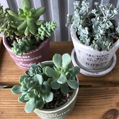 100均/お庭あそび お家🏠の寄せ植えもセダムちゃんももりもり…