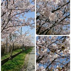 秋田にも/桜並木/桜/春💞 本日快晴☀️ 桜前線北上🎵やっと春🌸が来…