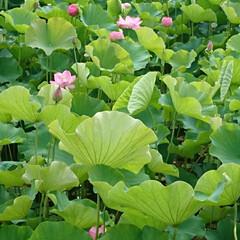 千秋公園/ハスの花 この前も投稿した蓮‼️  今朝仕事に向か…