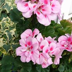 お花/春/住まい/暮らし こんにちは🤗  なかなかお天気🌞が続きま…