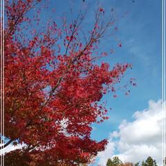 車でドライブ/秋の紅葉/おでかけ   ちょっと秋のドライブ🚗🍁  真っ赤な…